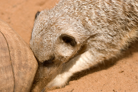 burrow: a meerkat digs a burrow under some wood