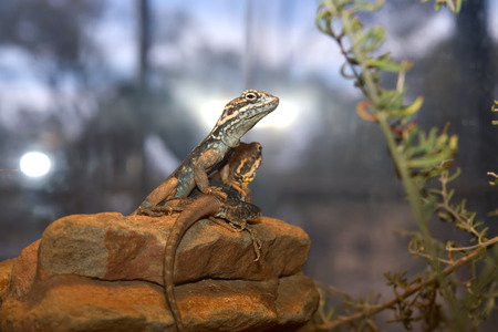 tawny: two tawny dragons sit on a rock