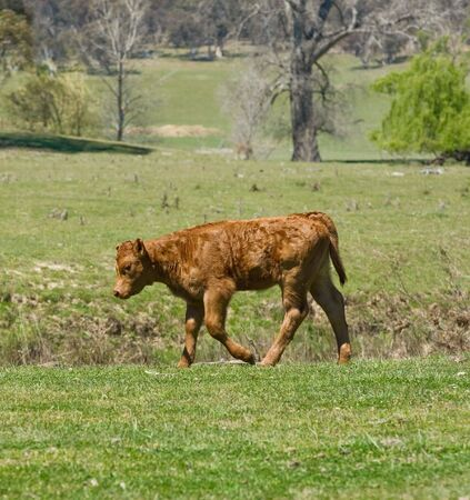 a sad and lonely young calf walks along with its head down photo