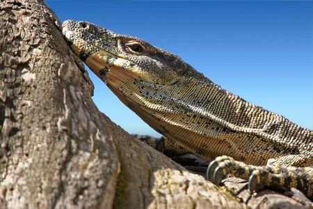 nonchalant: a big lace monitor goanna lays and watches  Stock Photo