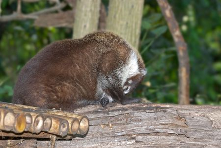 a very shy bearcat or Binturong covers its face