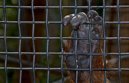 to restrain: an orangutan hand holds on to the wire mesh Stock Photo