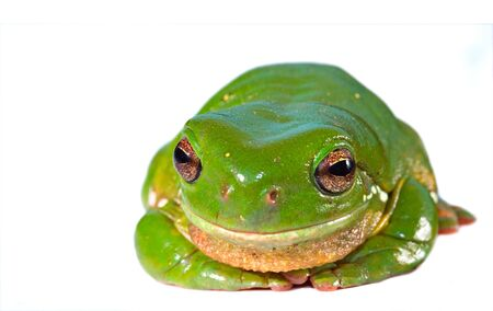 green tree frog: a big green tree frog isolated on white