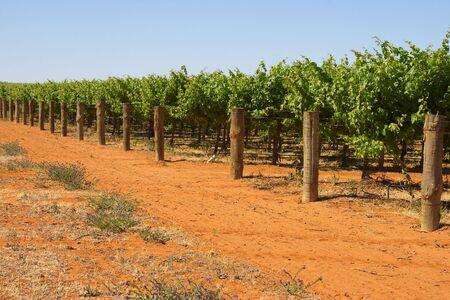 barossa: grape vines in rows in the barossa valley