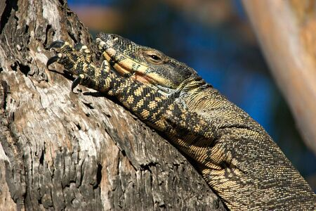 unconcerned: a big lace monitor goanna lizard lays in a tree Stock Photo