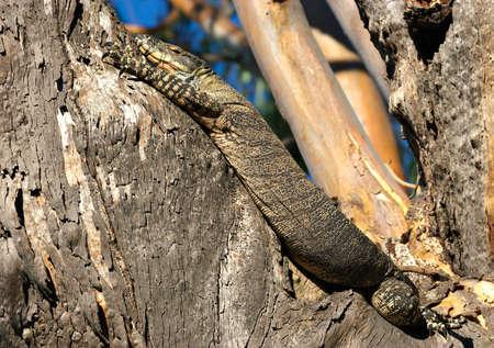 unconcerned: un gran seguimiento de encaje Goanna lagarto establece en un �rbol Foto de archivo