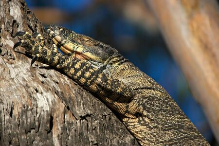 blithe: a big lace monitor goanna lizard lays in a tree with its eyes shut