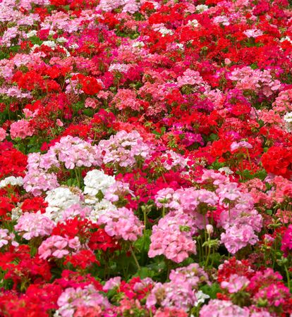 geranium color: heaps of geraniums for a beautiful floral background