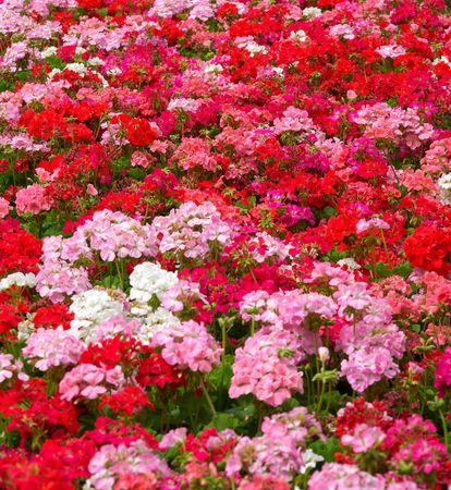 geranium color: heaps of geraniums for a beautiful floral background
