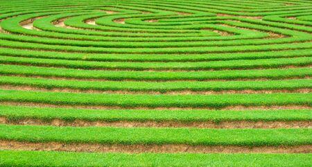 beautiful green lawn cut into a garden maze Stock Photo - 2119185