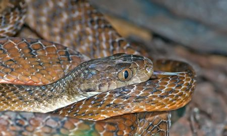 flicking: australian common tiger snake Notechis scutatus lays coiled up and flicks tonque out Stock Photo