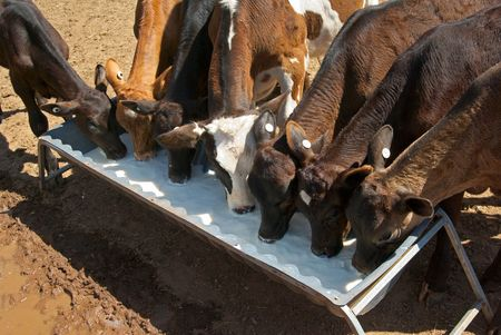 trough: very young calves drinking milk from a trough