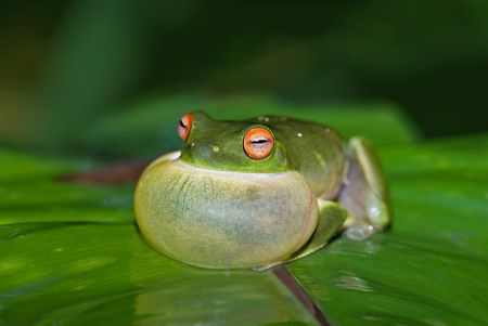 croaking: green tree frog all puffed up about to croak Stock Photo