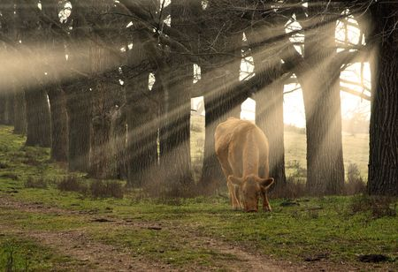 a cow eats grass in the morning with sun rays coming through the trees Stock Photo - 2463660