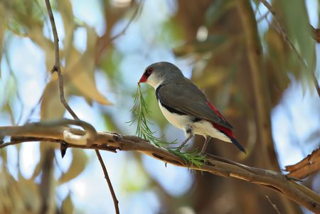 a rare and endangered diamond firetail collecting nesting materials photo