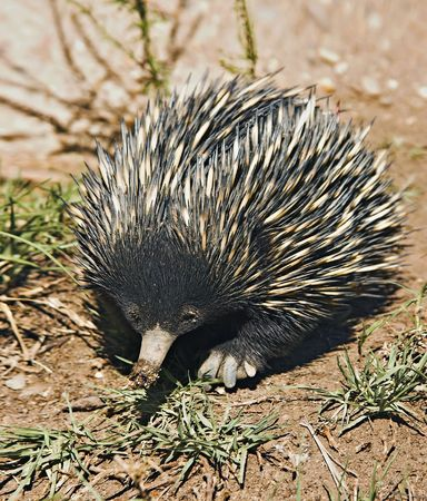 marsupial: an australian echidna or spiny anteater walks along