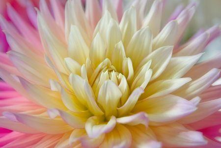 splendour: beautiful dahlia flower in all its splendour Stock Photo
