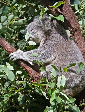 gran imagen de un koala australiano en un árbol de goma  Foto de archivo - 3338374