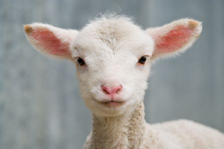 few: a very cute and adorable few day old lamb