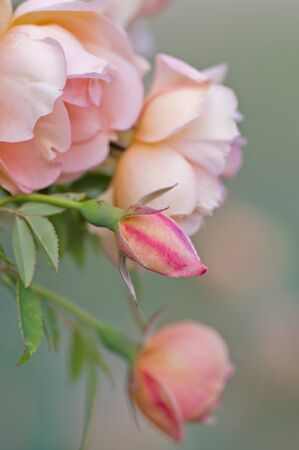 varying: excellent image of pink roses at varying stages