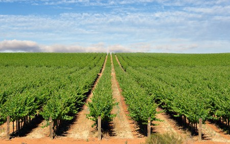 barossa: wide image of a farm in the barossa valley with wine grapes growing in rows Stock Photo