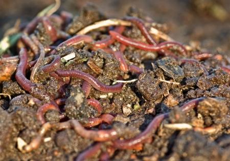 earthworms: gran pila de compost de jard�n o los gusanos en la tierra