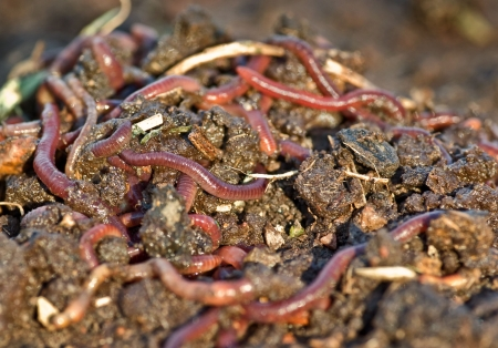 worms: large pile of garden or compost worms in the dirt