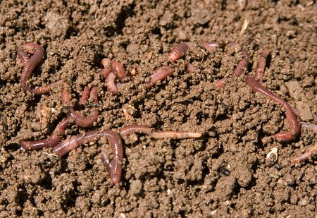 composting: composting or garden worms in the dirt