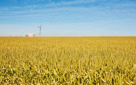 golden wheat and windmill in this field photo