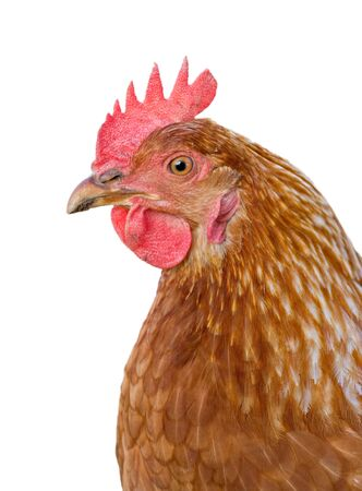 great closeup image of a hen on white background Stock Vector - 6605239