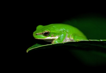 green tree frog: little dwarf green tree frog on the end of a leaf
