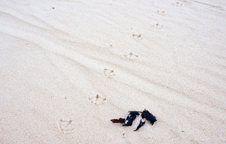 seagull bird tracks in the white sand at the beach photo