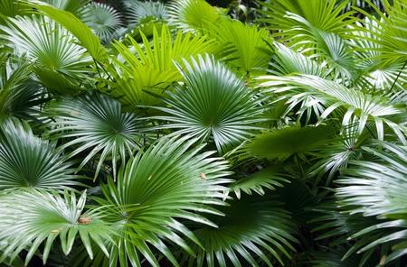 palm frond: sfondo di palme di foresta pluviale tropicale