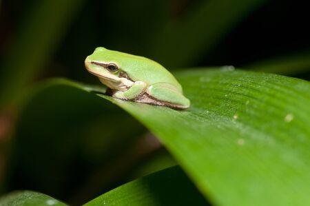 green tree frog: dwarf green tree frog in a bush