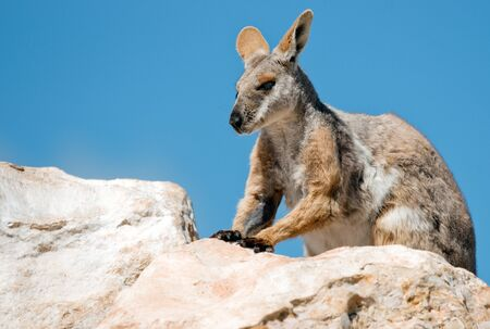 wallaby: yellow footed rock wallaby