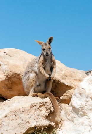 yellow footed rock wallaby photo