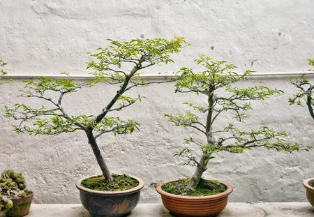 bonsai trees photo