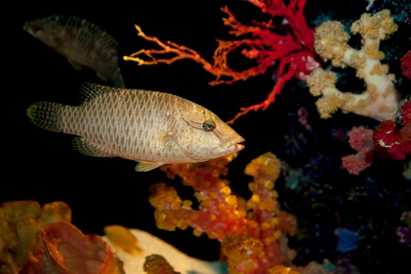 humphead: humphead maori wrasse fish