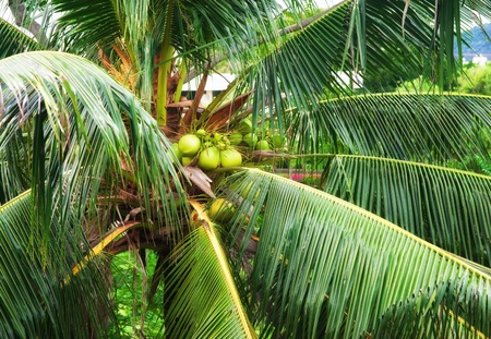 coconuts in tree photo