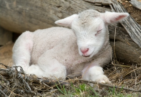 young lamb on the farm photo