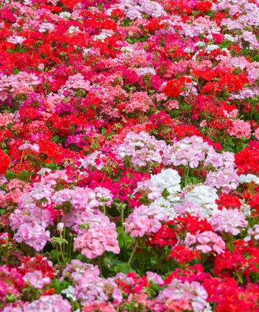 pelargonium: Pink and Red Geraniums for a floral background