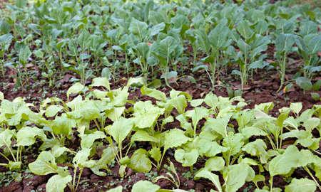 homestead: organic vegetables growing