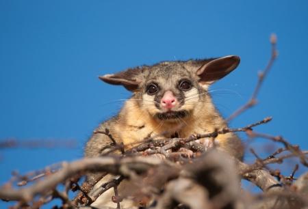 brush tailed: brush tail possum in tree Stock Photo