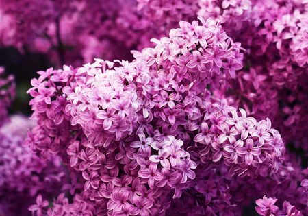 Lilac branches in the spring. Blooming month of May. Stock Photo