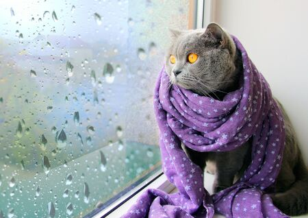 A gray cat in a purple scarf sits on a window and looks at raindrops flowing down the glass.
