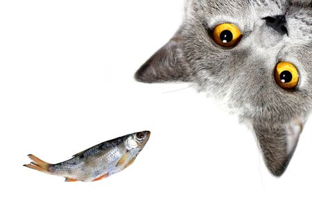 Gray cat is looking at you on a white background. Scottish breed and dried fish.