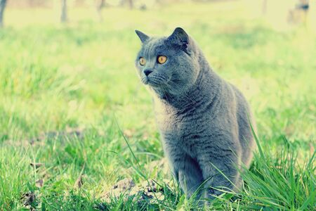 A gray Scottish plush cat sits on the green grass and enjoys nature. Imagens