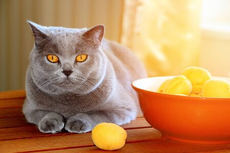 A gray Scottish cat lies on a table with freshly ripened sweet apricots collected in June.