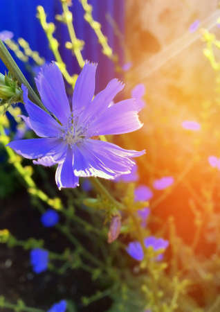 Chicory flower. A beautiful little blue flower of a plant that makes a healthy caffeine-free drink. Standard-Bild