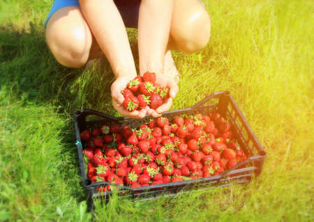Ripe fresh strawberries in the hands of the farmer and in a wicker white basket after harvesting sweet red berries.